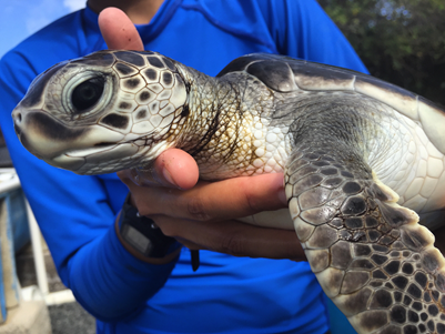Green sea turtle being held