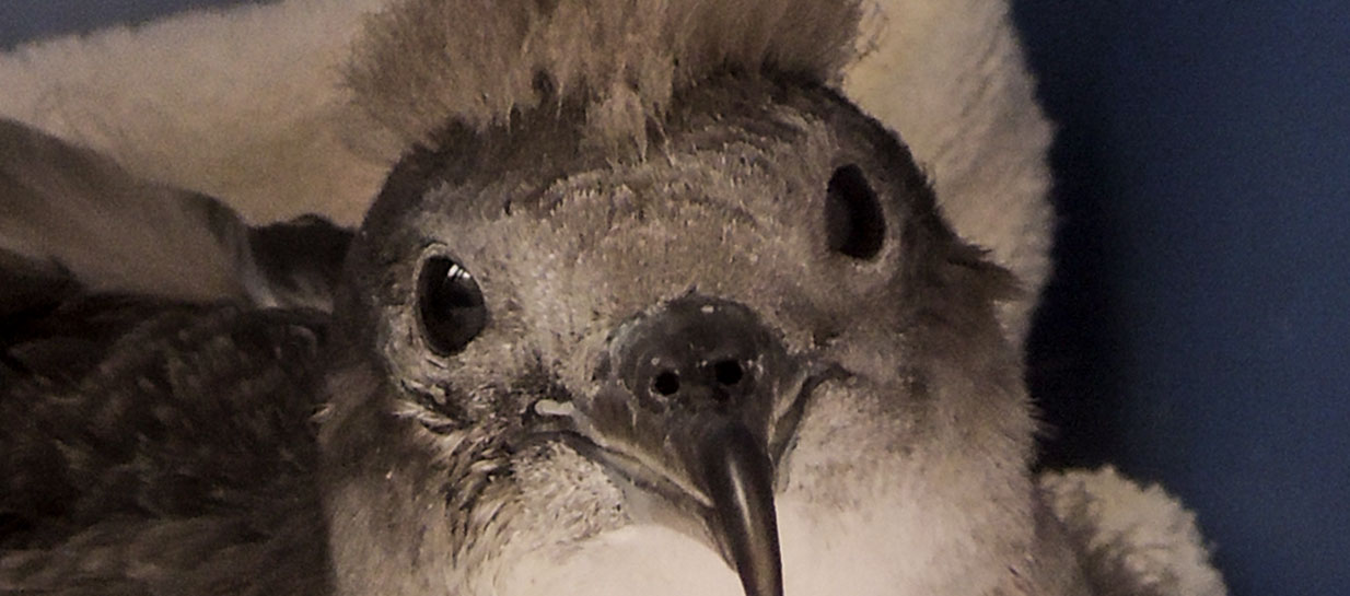 Sea Life Park Hawai�I Asks Community Assistance During Shearwater Fledgling Season