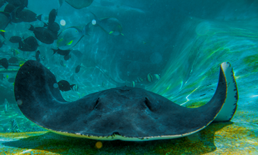 A stingray in the exhibit
