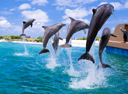 A group of dolphins jumping